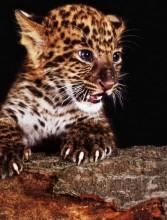 S-A1.1 Q324 Diamond Painting Set Leopard Cub 30x20cm